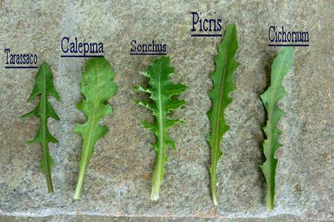 Corso sul riconoscimento delle erbe spontanee